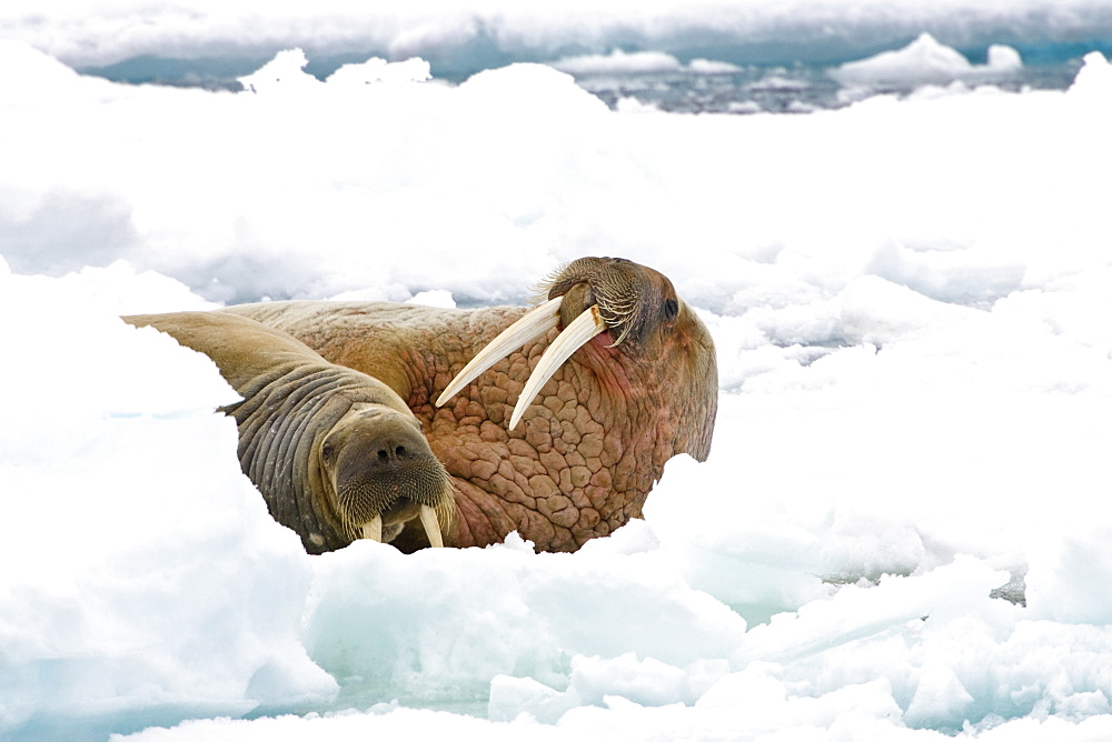 Walrusses, male and female on icefloe, Odobenus rosmarus, Svalbard, Norway