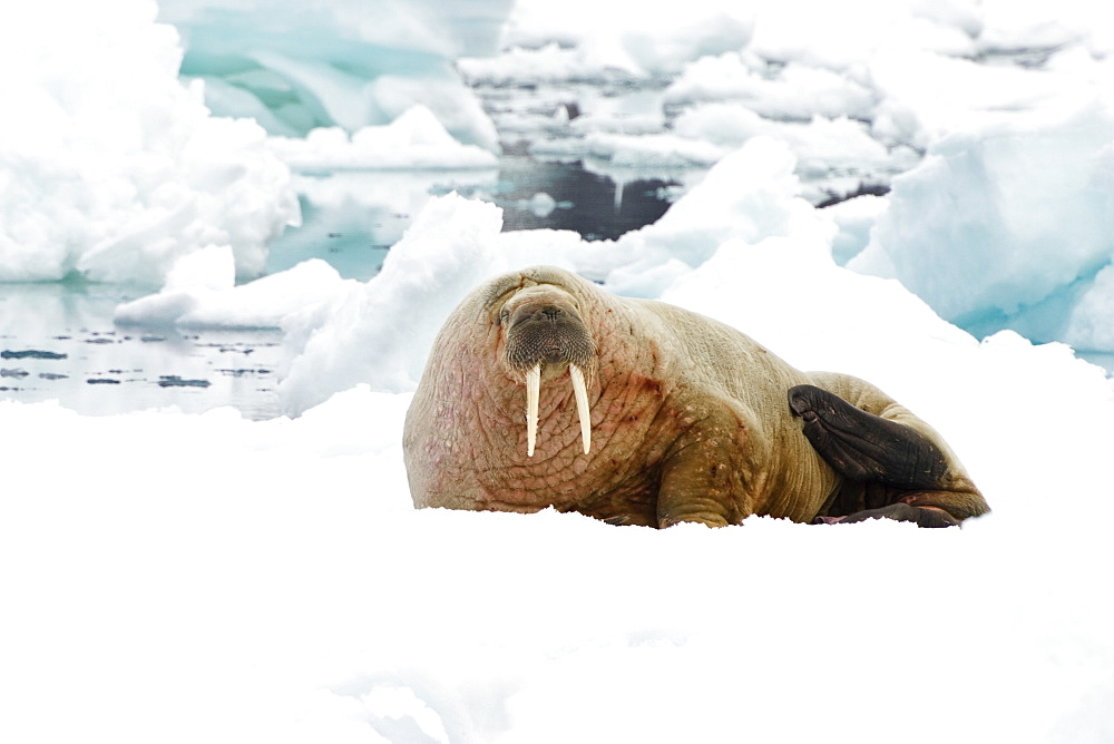 Walrus, male on icefloe, Odobenus rosmarus, Svalbard, Norway