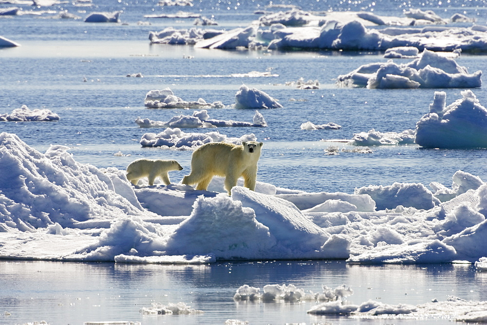Polarbear with cubs on icefloe, Ursus maritimus, Svalbard, Norway - 1113-5108