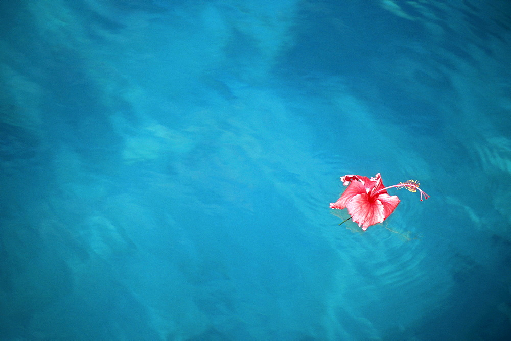 Floating Hibiscus Flower, Moorea French Polynesia