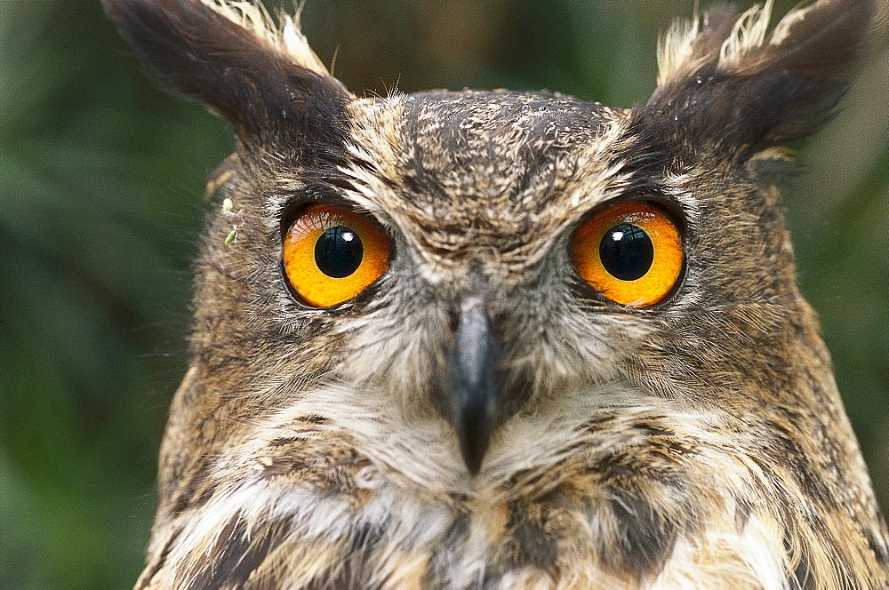 Close up of an Eagle owl, Owl, Bird of Prey, Animal - 1113-54986