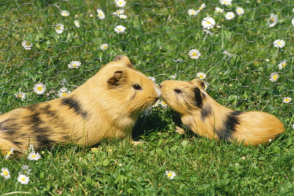 Guinea pigs, mother and young animal in outdoor enclosure on a meadow