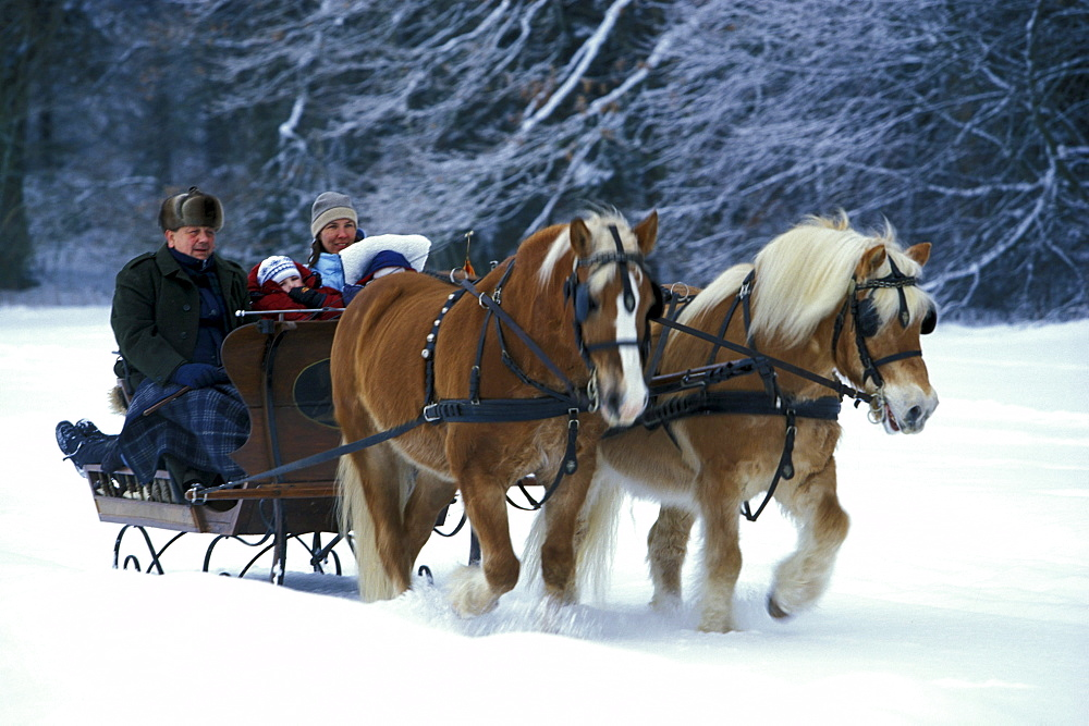 Family enjoying a sleigh ride in a horse drawn sleigh, Winter, Upper Bavaria, Bavaria, Germany