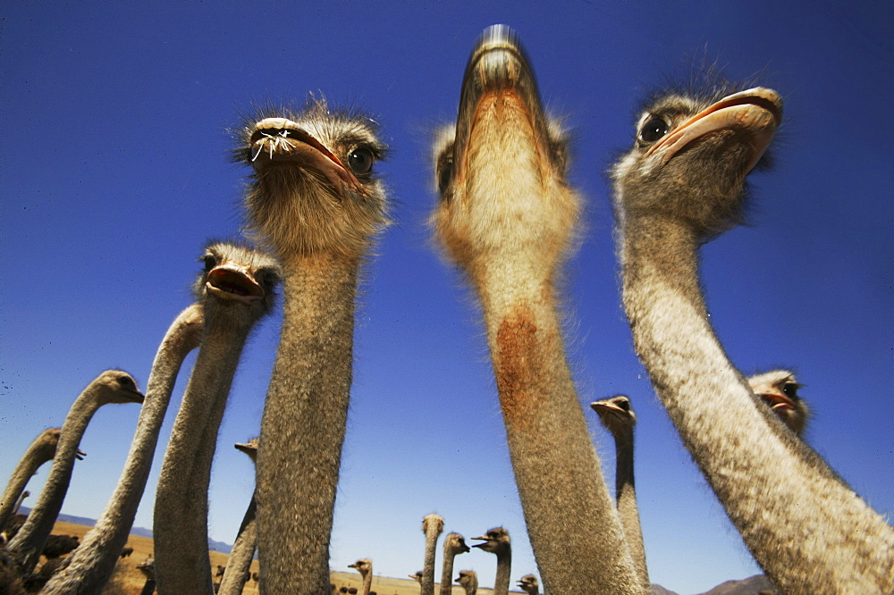 Ostriches near Oudtshoorn, West Cape, South Africa