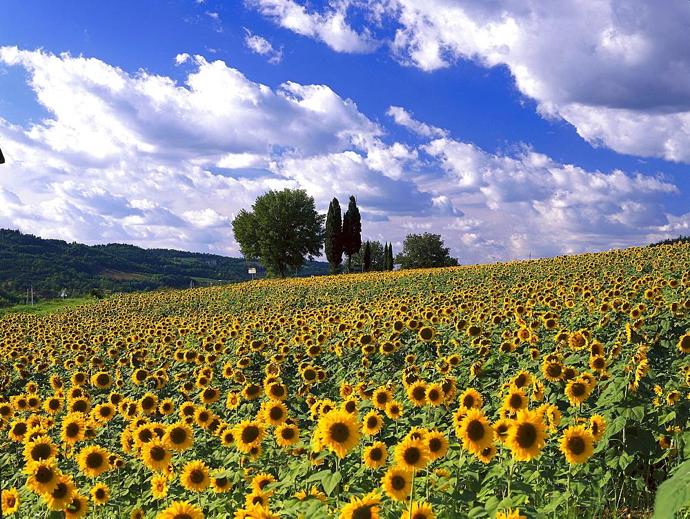 Sunflowerfield, Chianti, Tuscany, Italy
