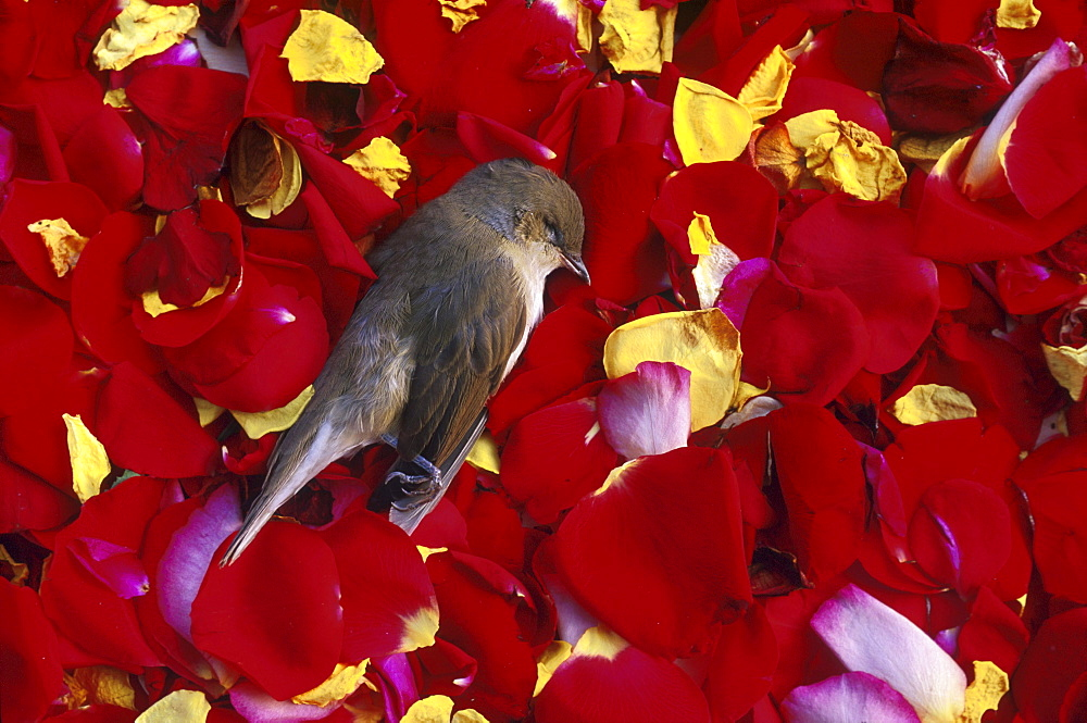 Dead bird on flower petals