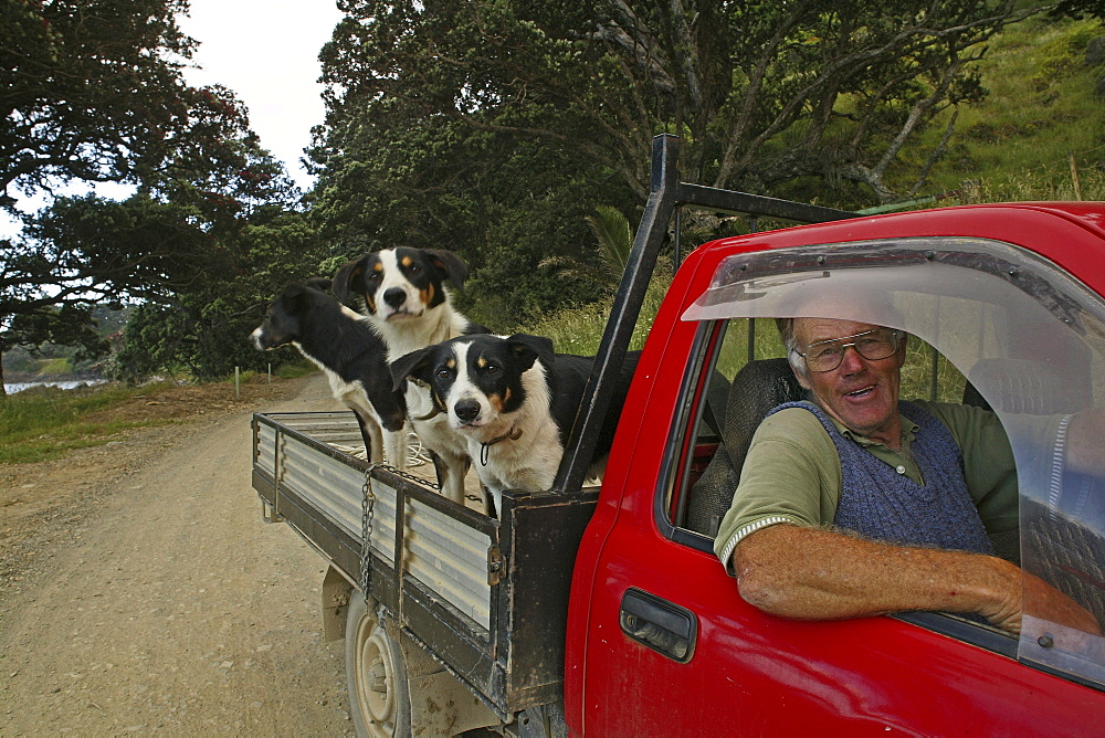 Farmer with dogs in pick-up truck, Port Jackson Road, Coromandel Peninsula, North Island, New Zealand, Oceania