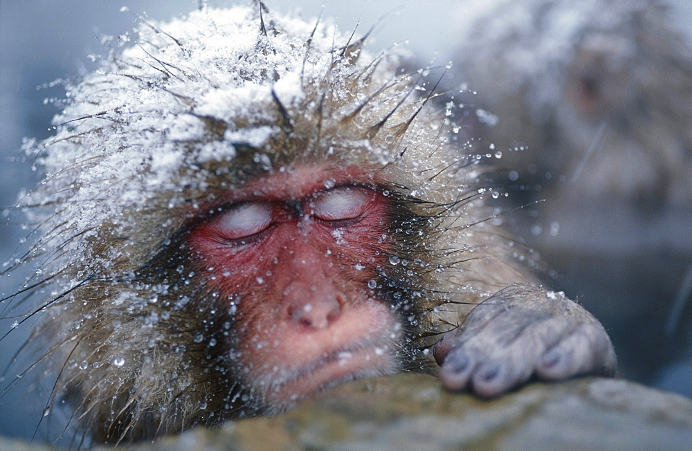 Japanese Macaque sleeping in hot pool, Snowmonkey, Japanese Alps, Japan - 1113-58295