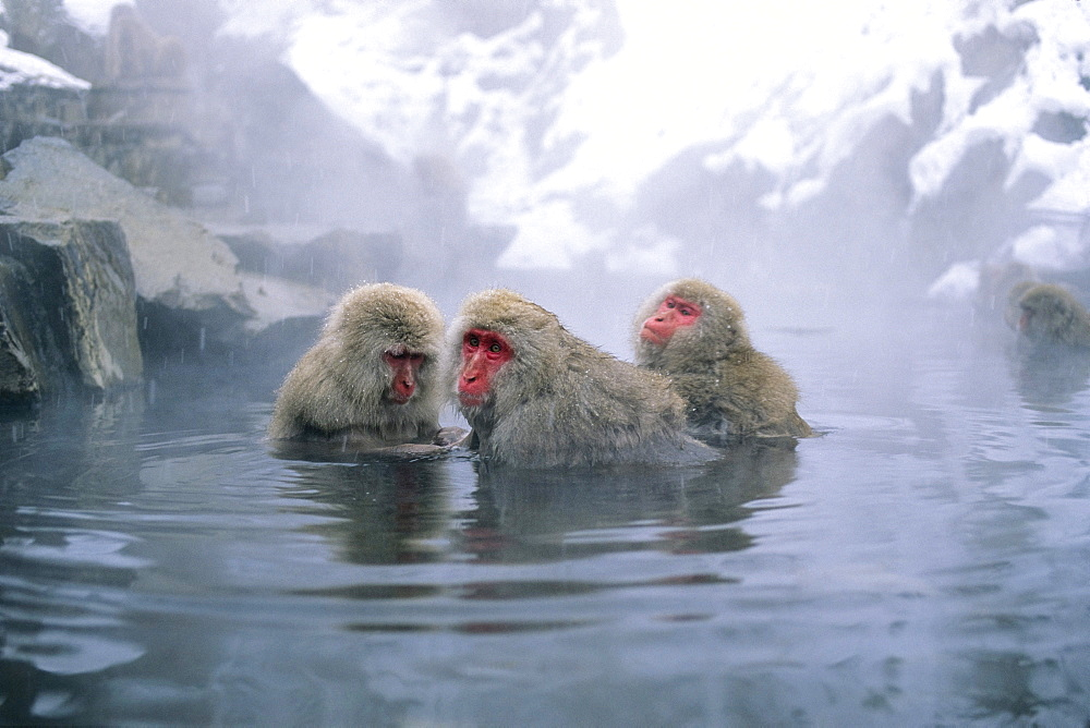 Japanese Macaques in hot spring, Japanese Alps, Japan - 1113-58298