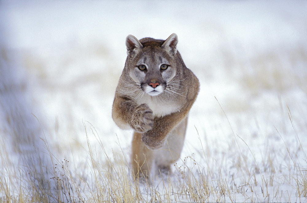 Puma jumping, Winter landscape, Rocky Mountains, Colorado, USA