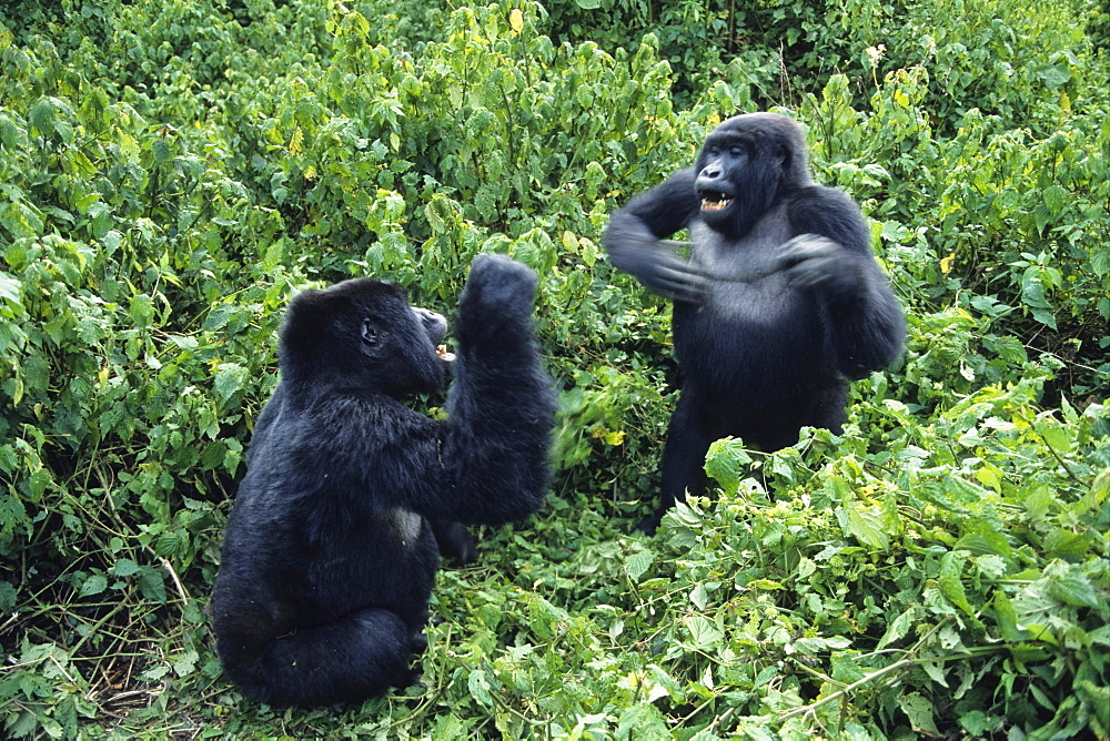 Mountain Gorillas drumming, Virunga Mountains, Zaire, Central Africa