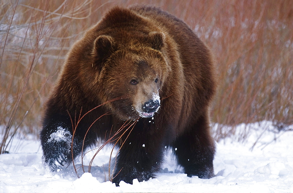 Kodiak Bear in Winter, Ursus arctos middendorffi, Alaska