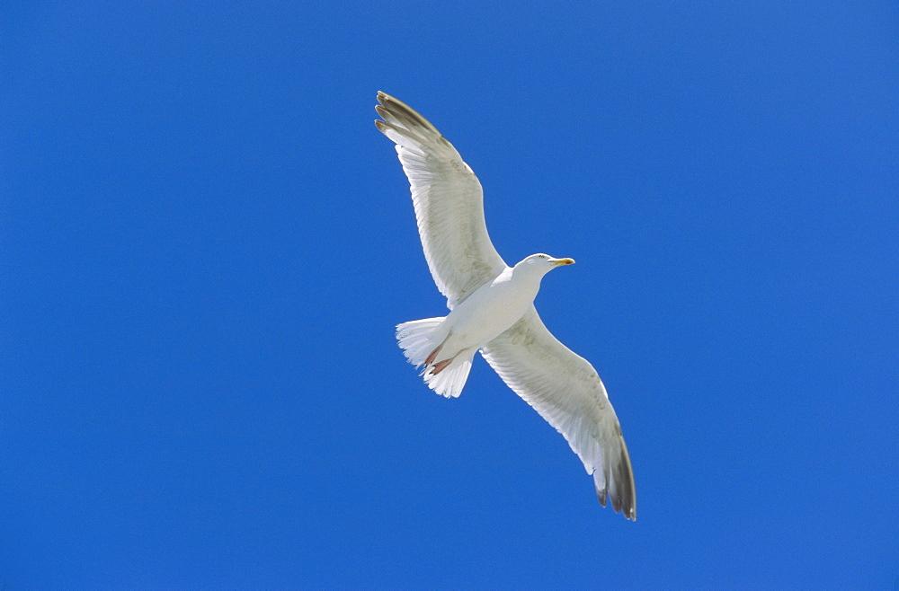 Herring Gull in flight, Larus argentatus, Scandinavia, Europe