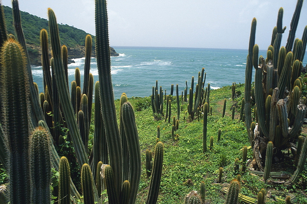 Cactusses at the coast, St. Lucia, Caribbean, America