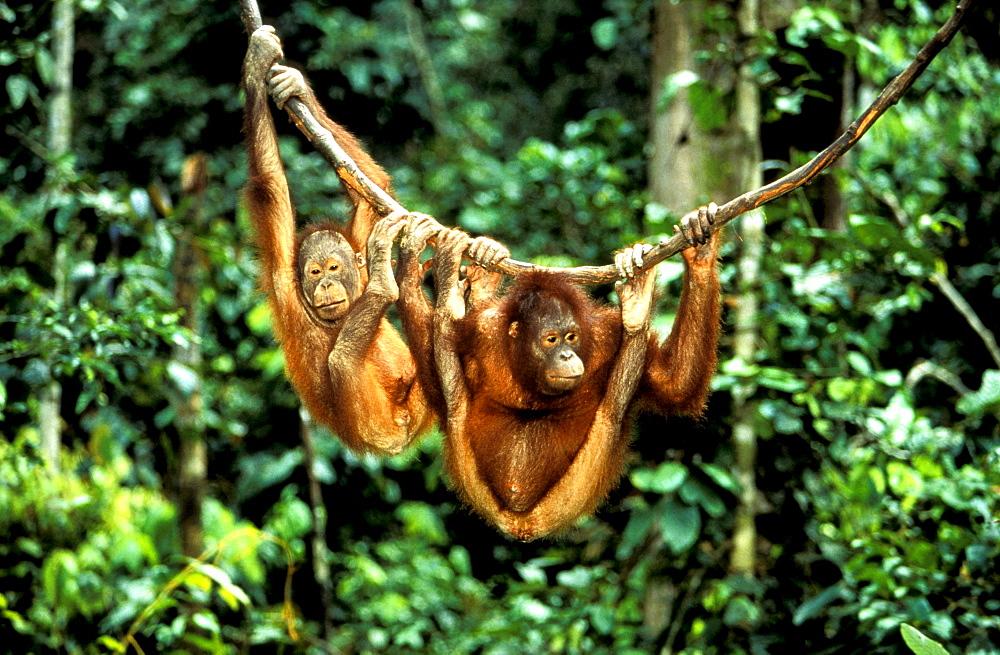 Orang-Utan, Pongo Pygmaeus, Gunung Leuser National Park, Sumatra, Indonesia, Asia
