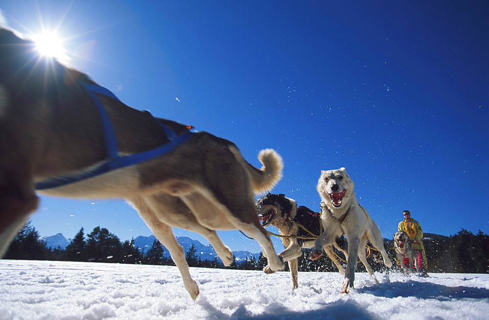 Dog Sledge, Lappland, Sweden