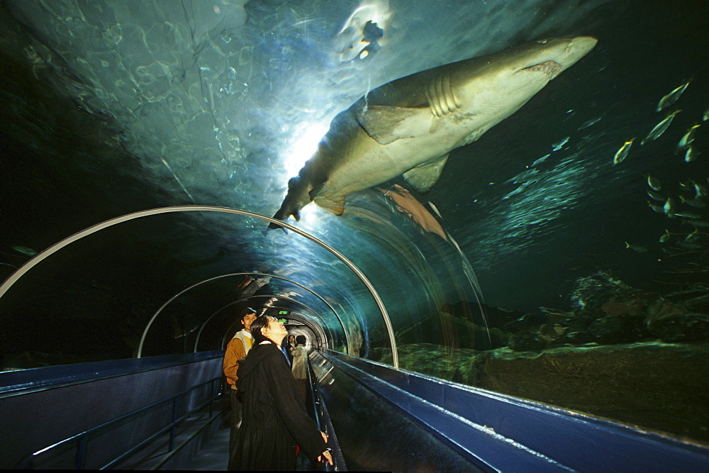 Shark in the Sydney Aquarium, Darling Harbour, Sydney, Sydney Harbour, New South Wales, Australia