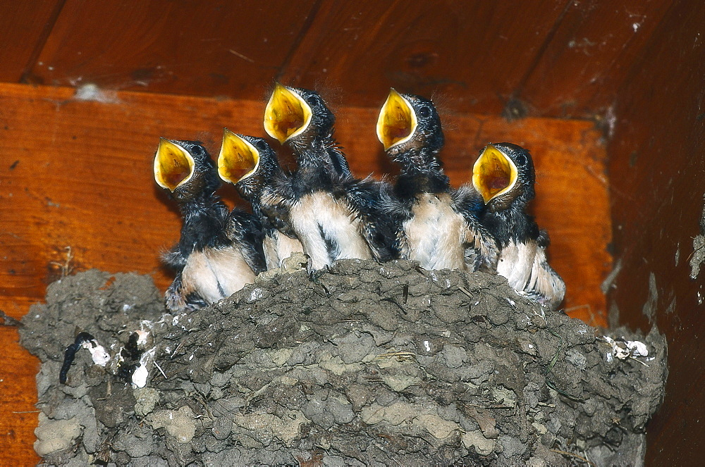Barn swallow chicks in the nest, Hirundo rustica, Germany