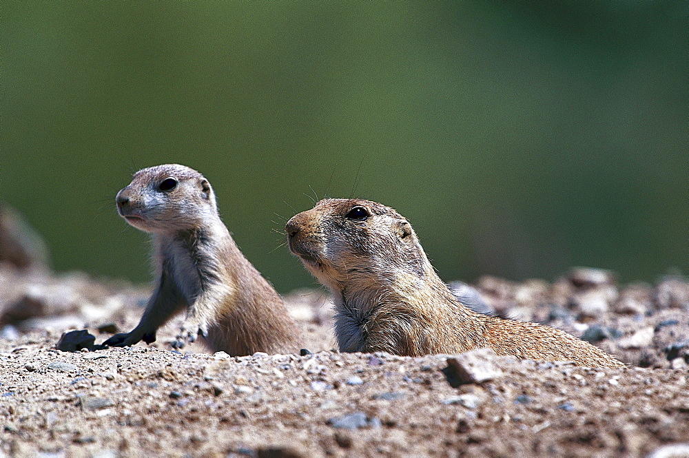 Close-up of black-tailed prairie dogs, Arizona, USA, America