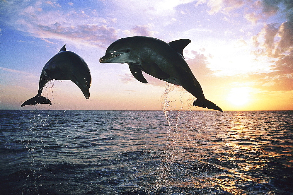 Two jumping Dolphins, Bottlenose Dolphins, Tursiops truncatus, Islas de la Bahia, Hunduras, Caribbean