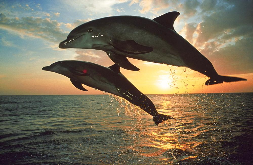 Bottlenosed dolphins, Islas de la Bahia, Hunduras, Caribbean