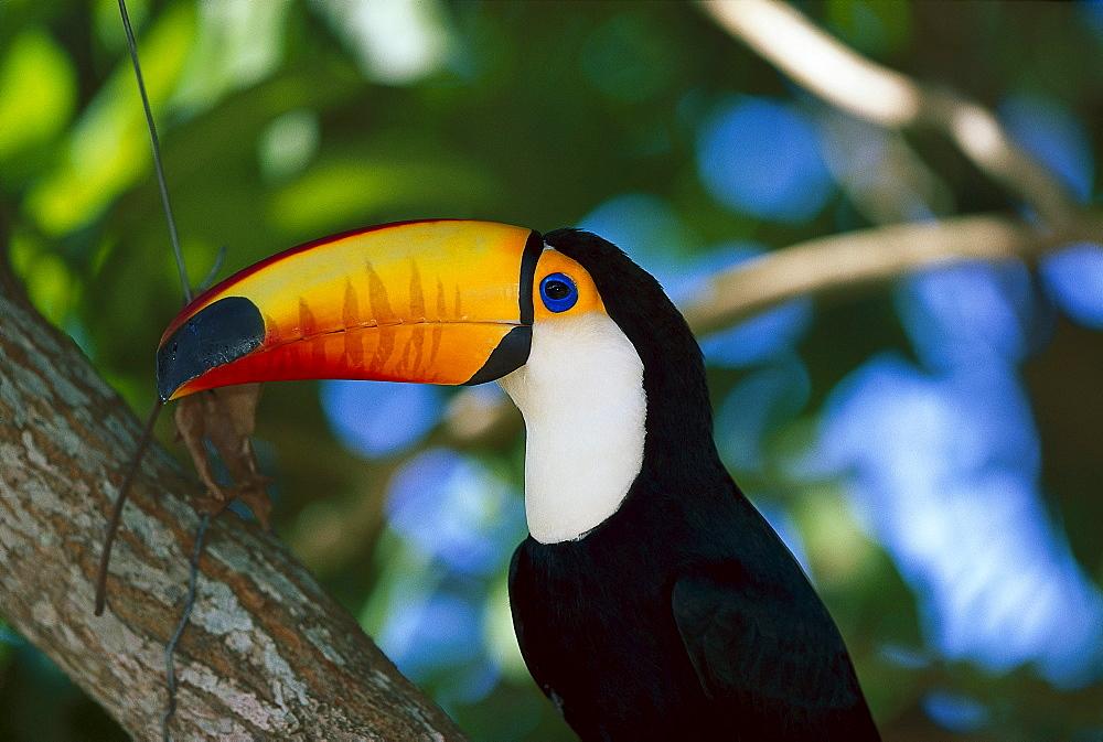 Toco toucan, Ramphastos toco, Pantanal, Brazil, South America