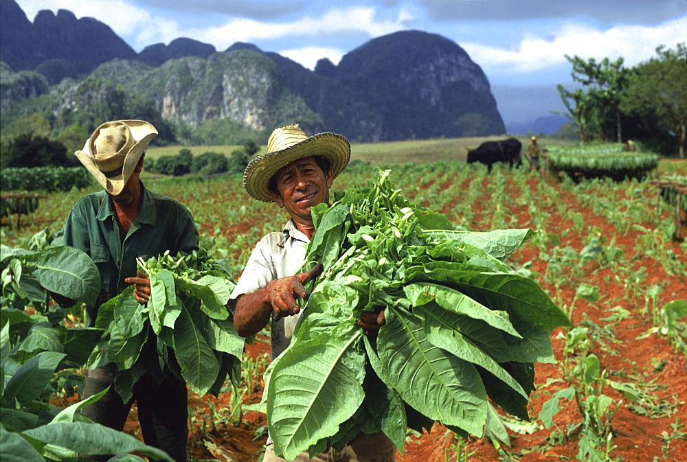 Tobacco harvest in Vinales Valley, Pinar del Rio, Cuba, Carribean