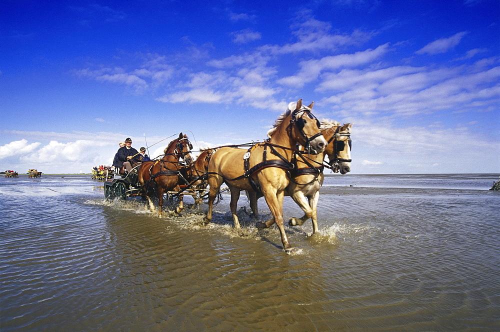 Horse-Drawn Carriage Ride to Island Neuwerk, National Park Hamburgisches Wattenmeer, Germany00058519