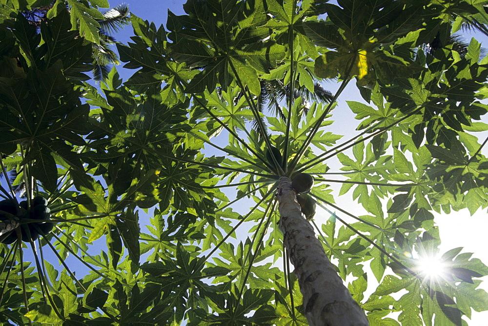 Papaya Tree, Paw Paw, Rarotonga, Cook Islands