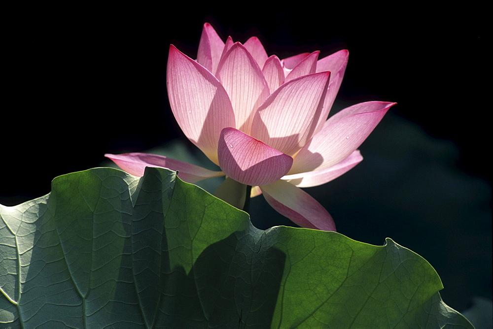 Lotus Flower, Lou Lim Ieoc Garden, Macau