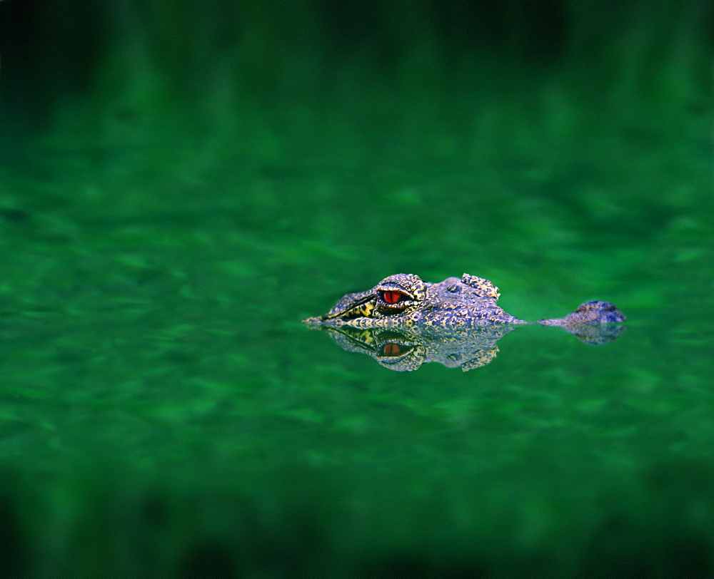 American crocodile in a swamp, Everglades, Florida, USA