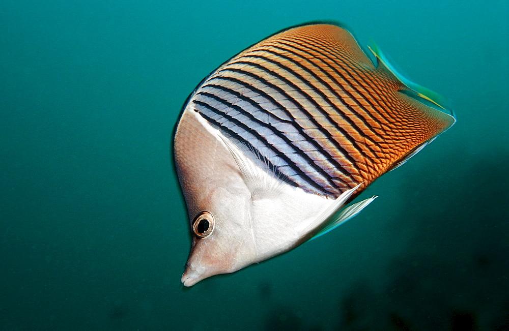 White-face butterflyfish, Chaetodon mesoleucos, Djibouti, Djibuti, Africa, Afar Triangle, Gulf of Aden, Gulf of Tadjourah