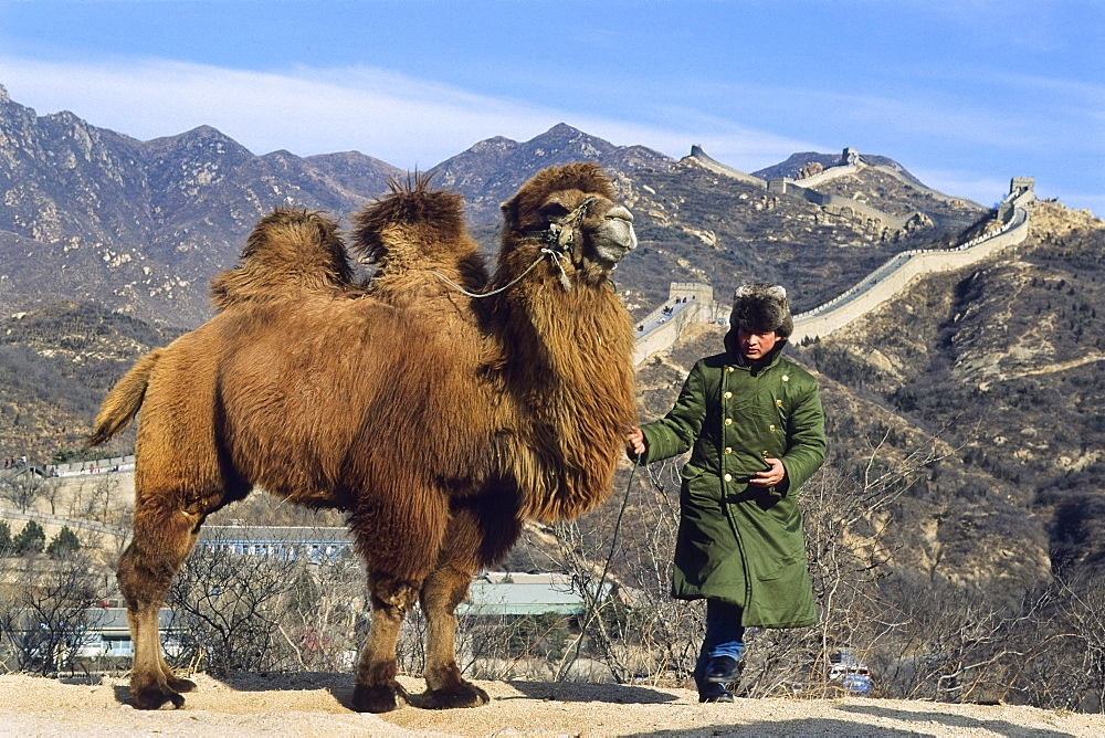 Riding Camel for tourists, Great Wall near Badaling, China