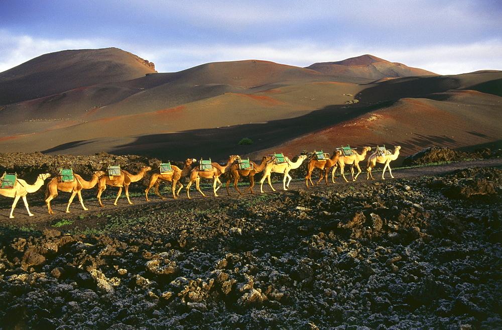 Camels, Montanas del Fuego, volcanic landscape, Timanfaya National Park, Lanzarote, Canary Islands, Spain