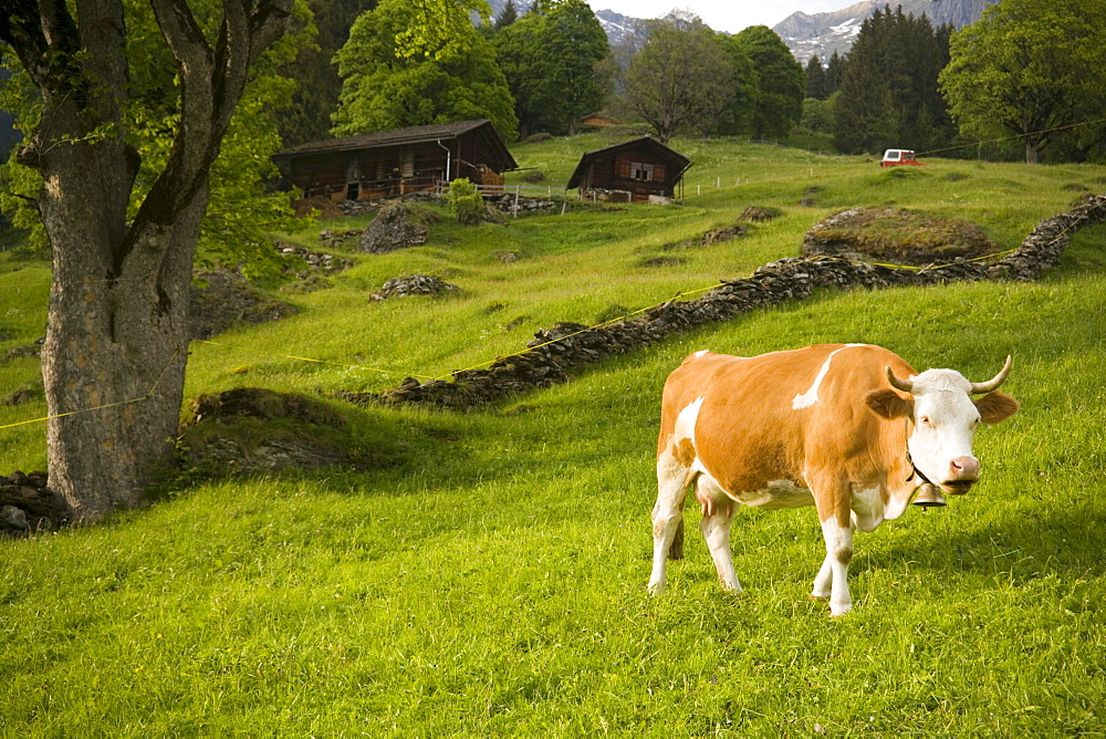 Cow grazing on alp, Grindelwald, Bernese Oberland (highlands), Canton of Bern, Switzerland