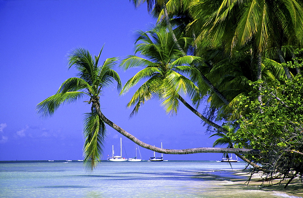 Palm trees, Dream beach, Pigeon Point, Tobago