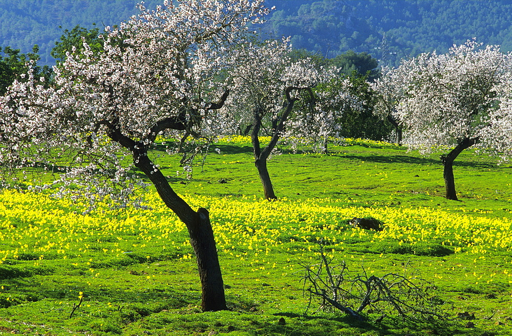 Europe, Spain, Majorca, near Selva, blooming almond trees