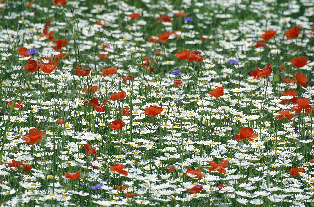 Meadow with flowers, Piano Grande, Monti Sibillini National Park, Italy