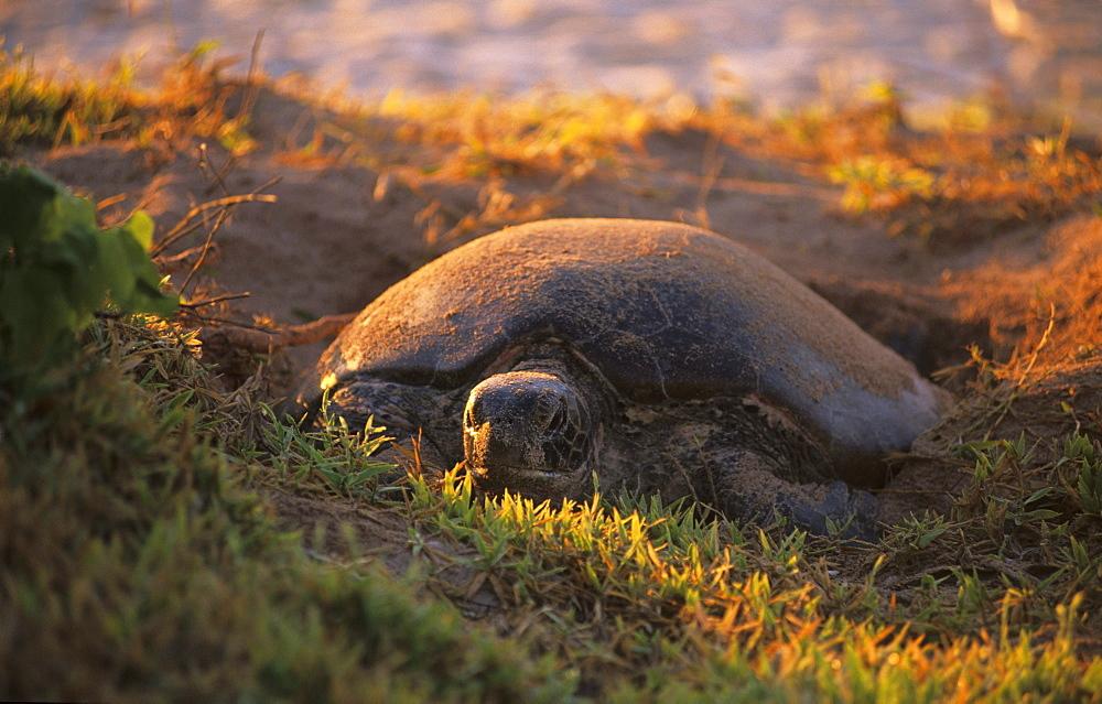 Sea turtle laying eggs on the beach of the island, Heron Island, Great Barrier Reef, Australia