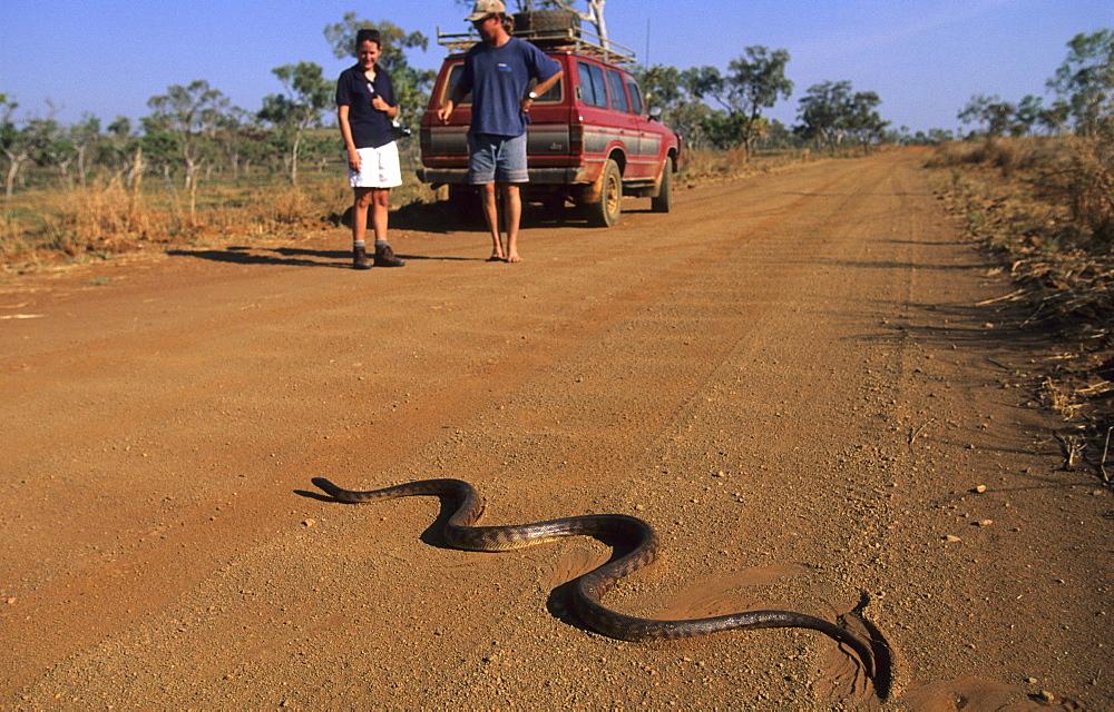 Black headed python on the road to Bell Gorge, Gibb River Road, Western Australia, Australia