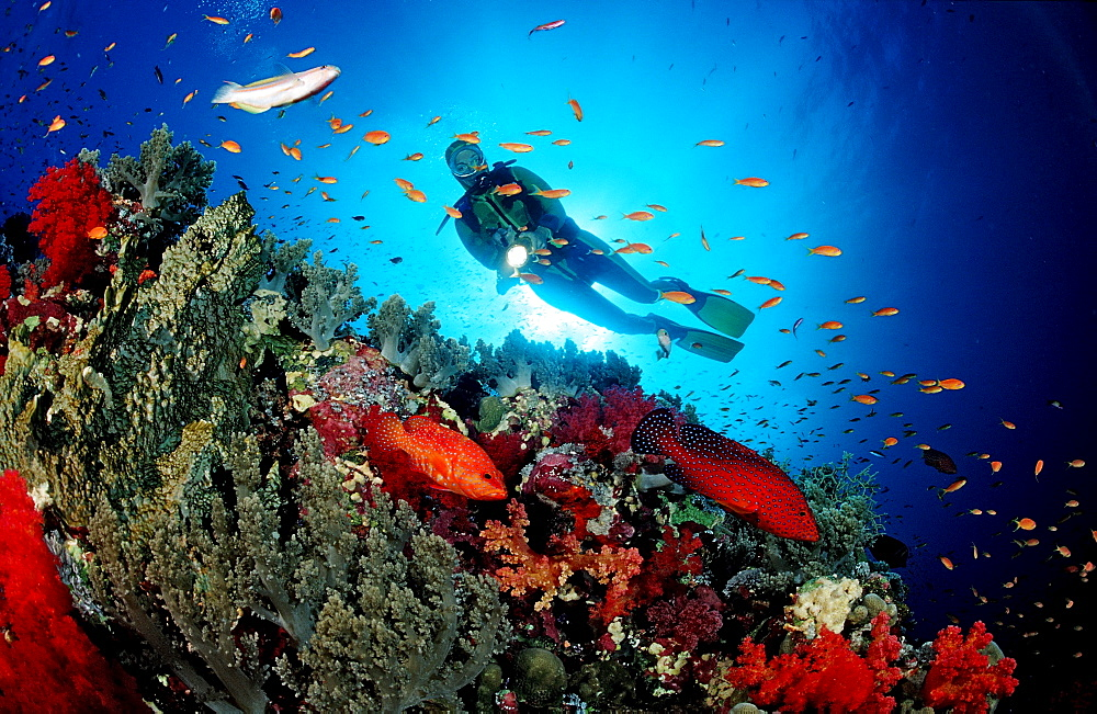 Coral grouper and scuba diver, Cephalopholis miniata, Egypt, Red Sea, St. John¥s Reef