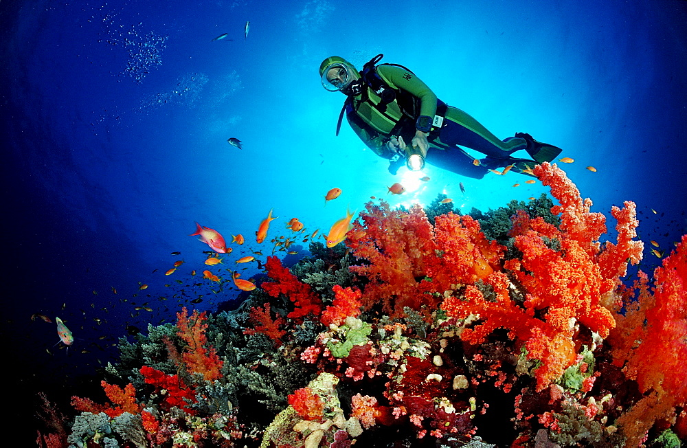 Scuba diver and Red soft corals, Acropora divaricata, Sudan, Africa, Red Sea