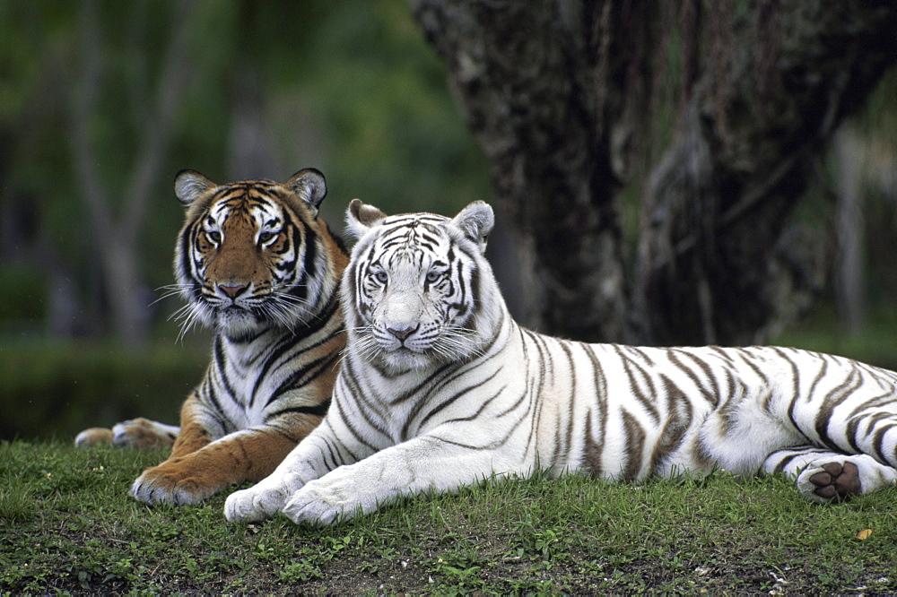 White Tiger, Indian Tiger, Enclosure, Zoo