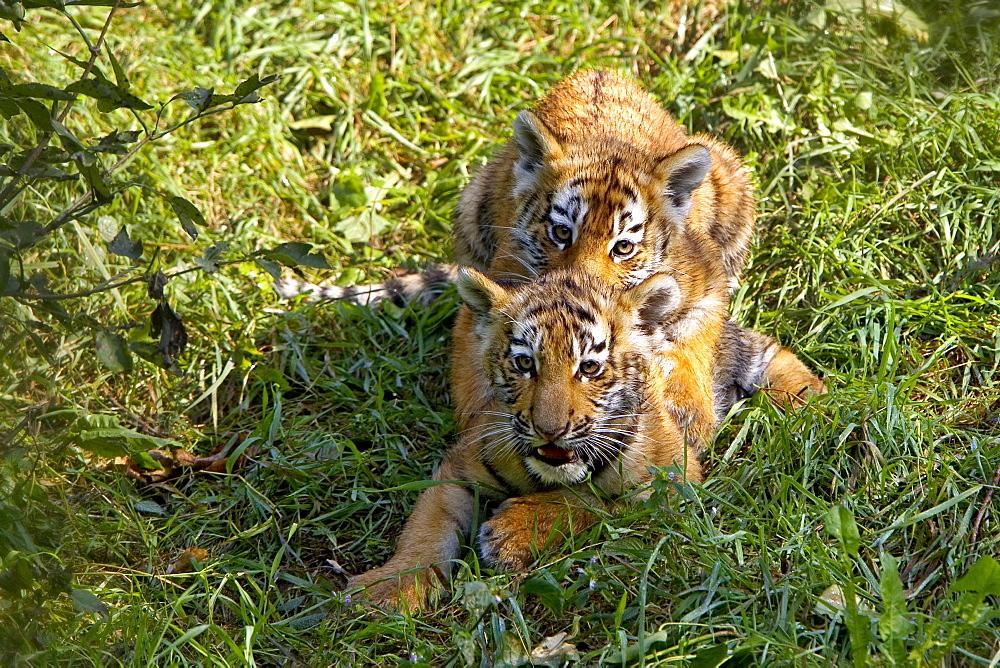 Playing Young Siberian Tigers, captive Panthera tigris altaica
