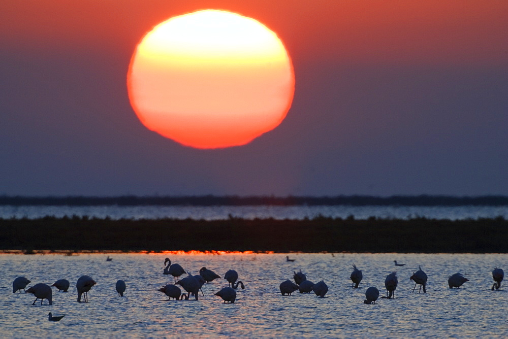 Greater Flamingoes at sunrise, Phoenicopterus ruber, Camargue, France