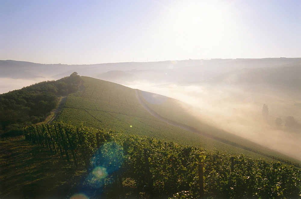 Morning mist over vineyard Scharzhofberg, Wiltingen, Saar, Rhineland-Palatinate, Germany