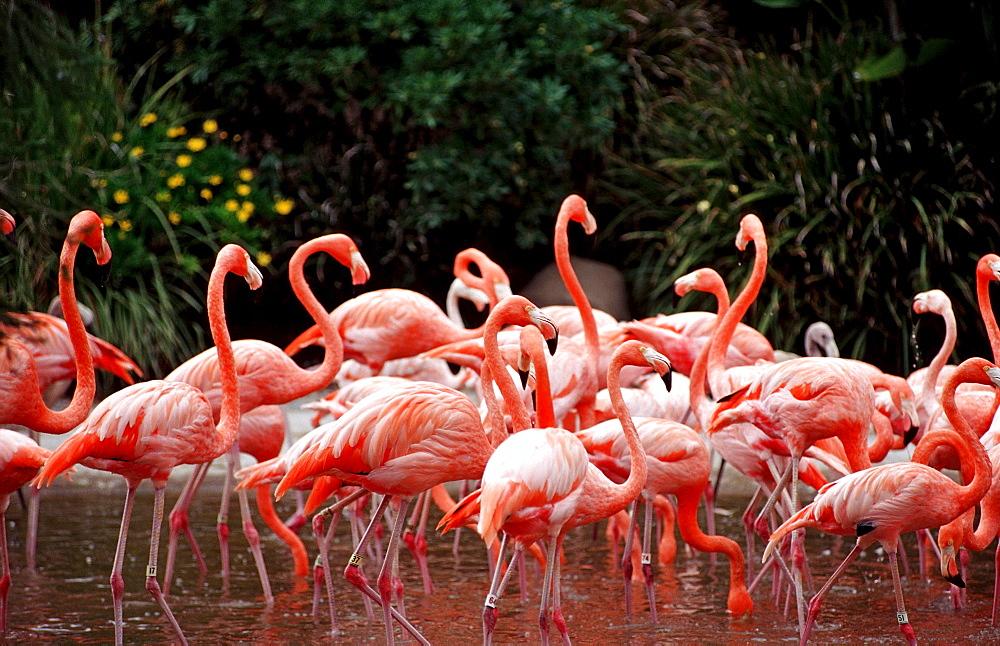 Flamingo, Phoenicopterus ruber, USA, California, San Diego, SeaWorld