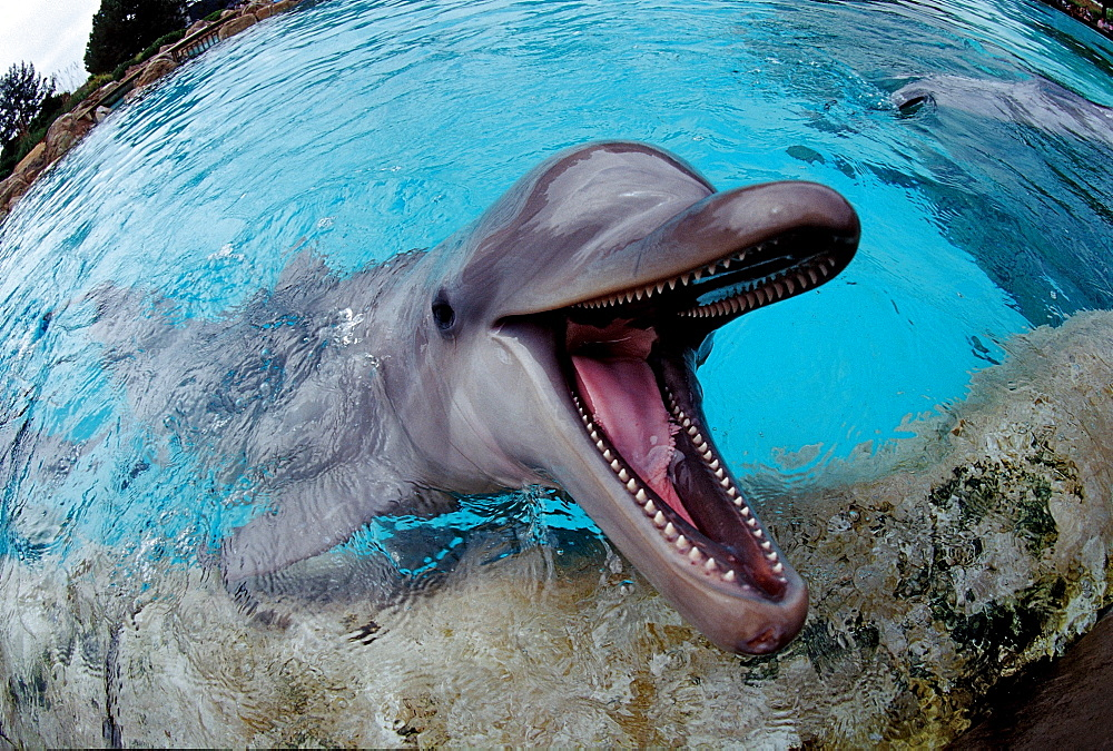 Bottlenose dolphin, Tursiops truncatus, USA, California, San Diego, SeaWorld