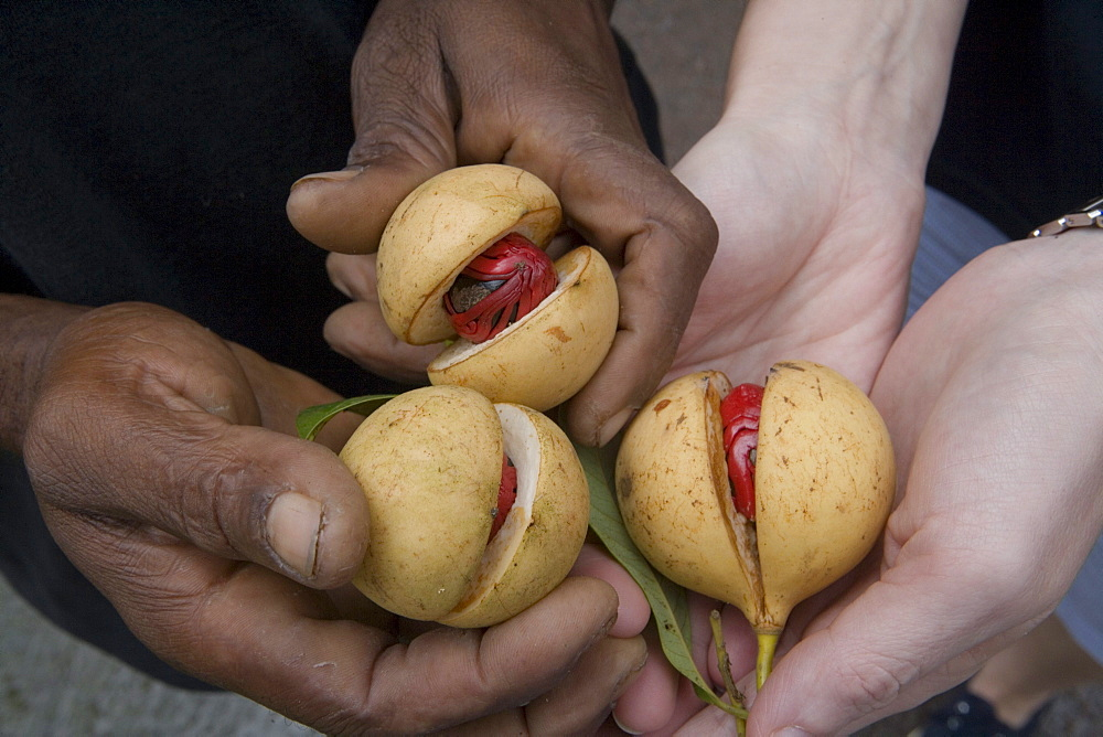 Hands Holding Nutmegs, Near Concord, Grenada