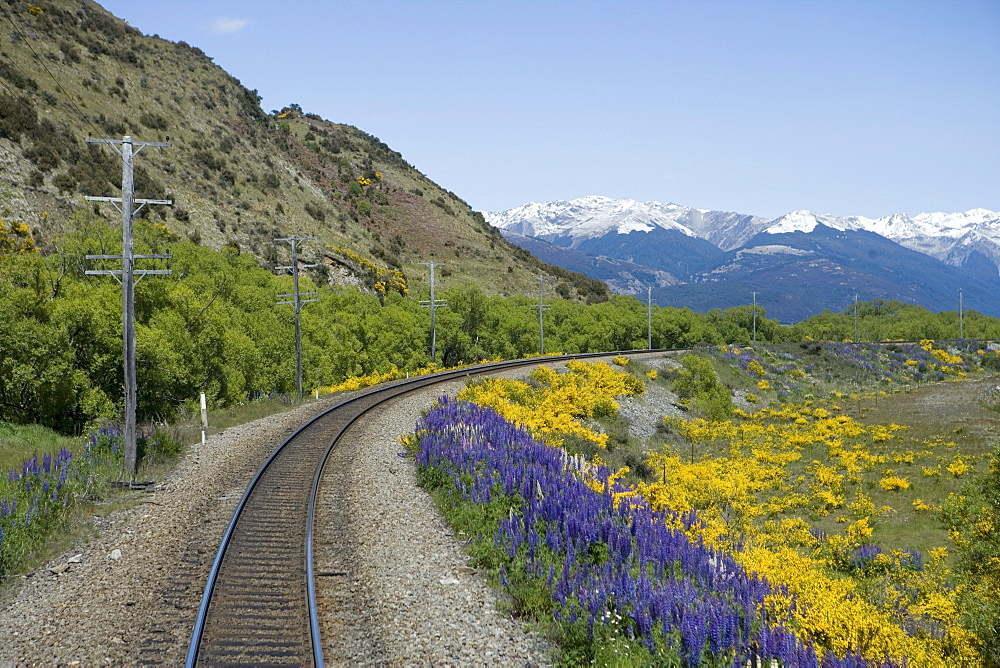 Lupines and Gorse Alongside Railroad Tracks, Aboard TranzAlpine Train from Christchurch to Greymouth, near Arthur's Pass, South Island, New Zealand